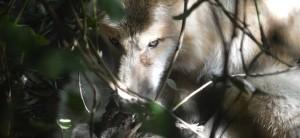 WolfLyinginWait